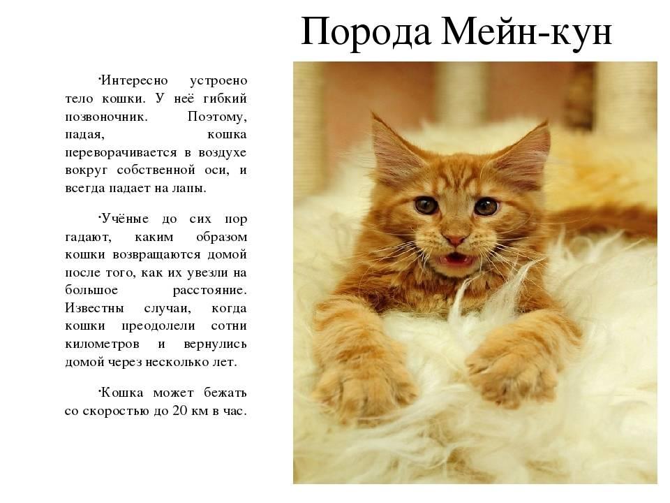 Размеры мейн-кунов (16 фото): рост взрослой кошки в сравнении с человеком, габариты больших котов. до какой длины вырастает мейн-кун?