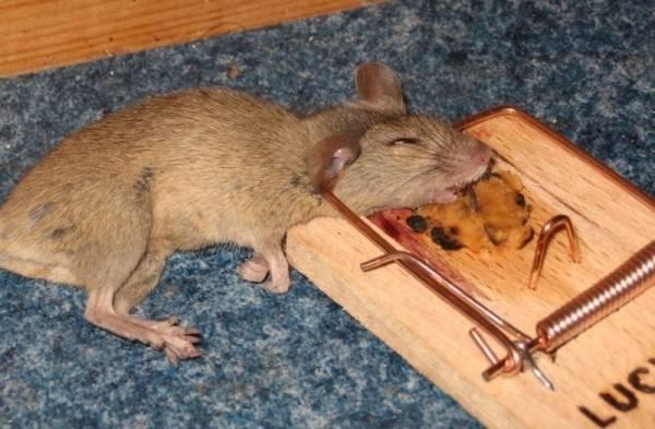Породы собак, которые способны избавить дом и участок от крыс
