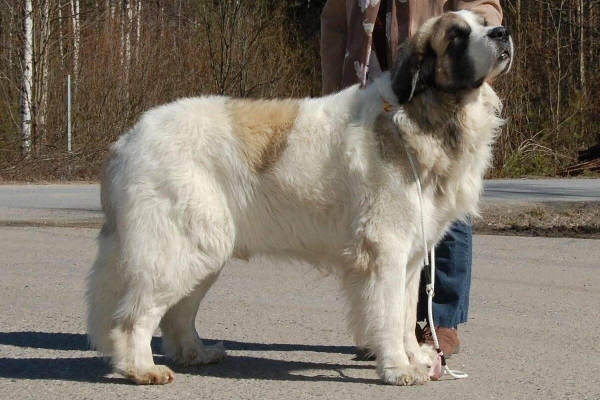 Альпийский мастиф (сенбернар, собака святого бернара, бернардинер): фото, купить, видео, цена, содержание дома