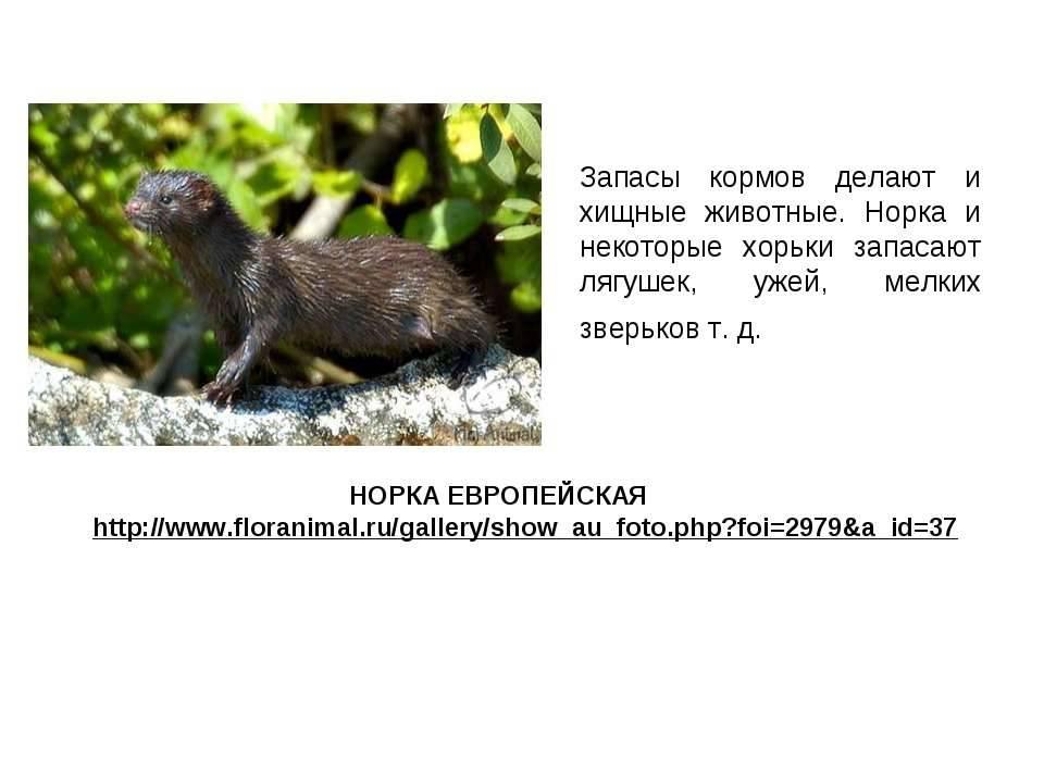 Норка: фото животного и описание, особенности, классификация