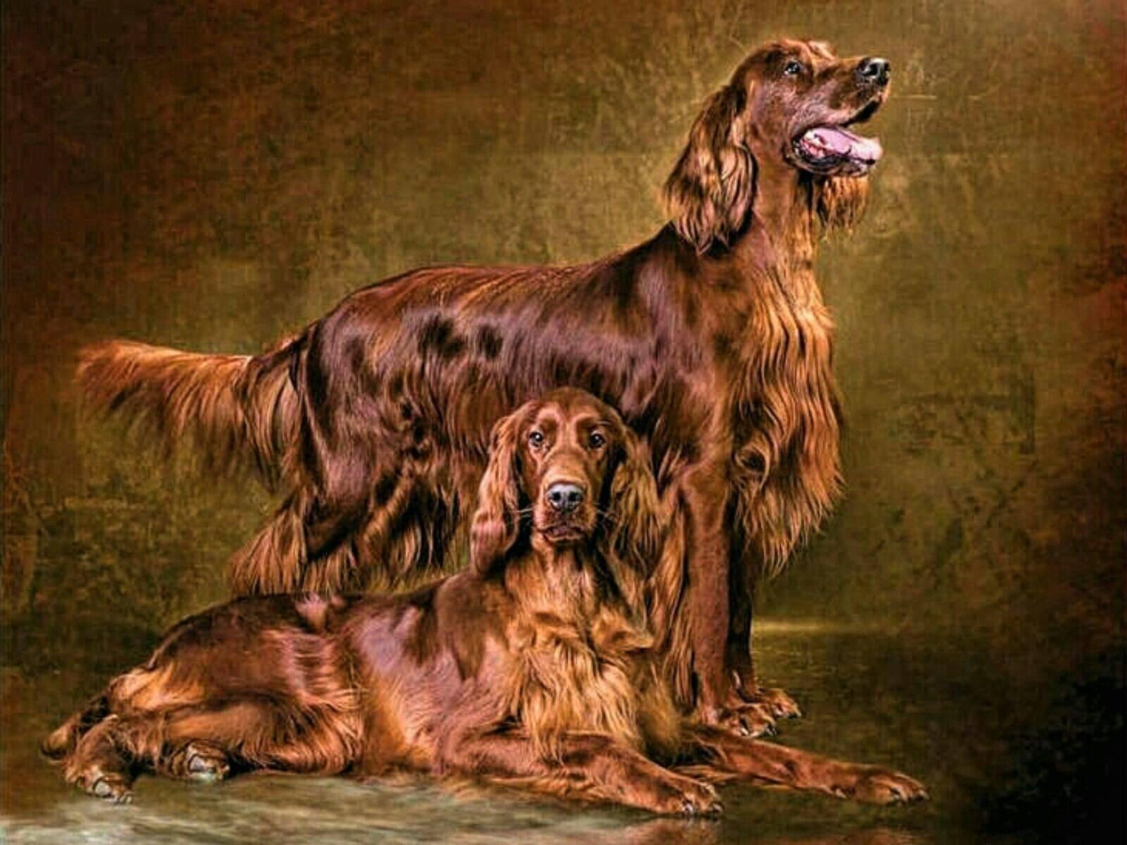 Характеристика и география породы собак английский сеттер