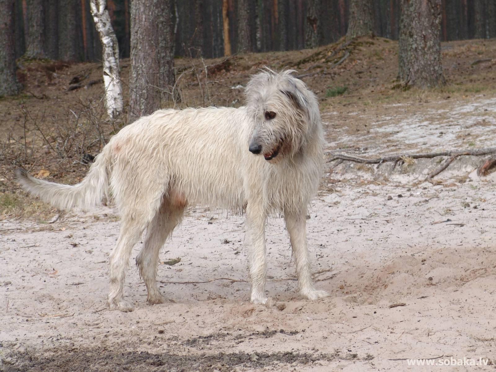 Волкодав (54 фото): история собак. русский, тибетский и другие породы волкодавов. как выглядят щенки?