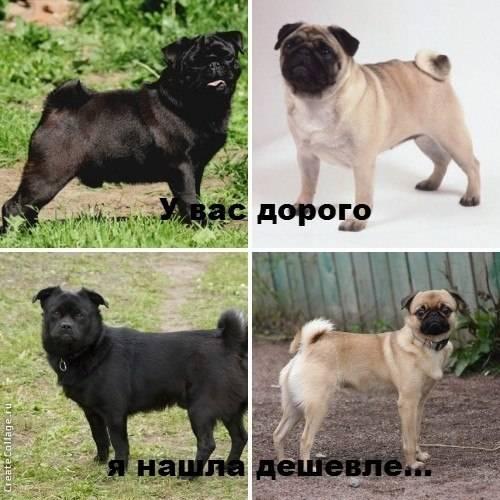 Самые дорогие породы собак в мире - цены, описание, характер