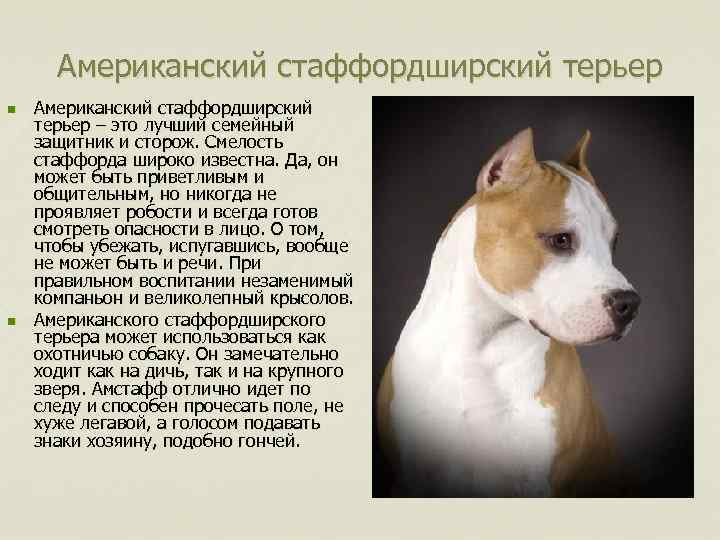 Американский стаффордширский терьер: собака-компаньон или агрессор?