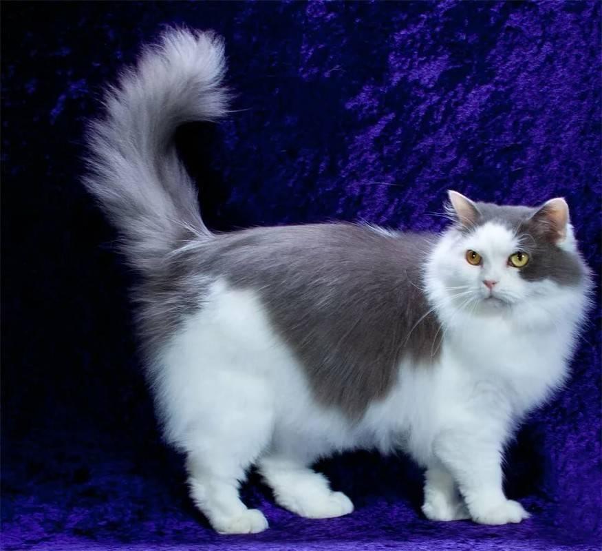 Рагамаффин кошка: стандарты, фото, цена, уход и содержание