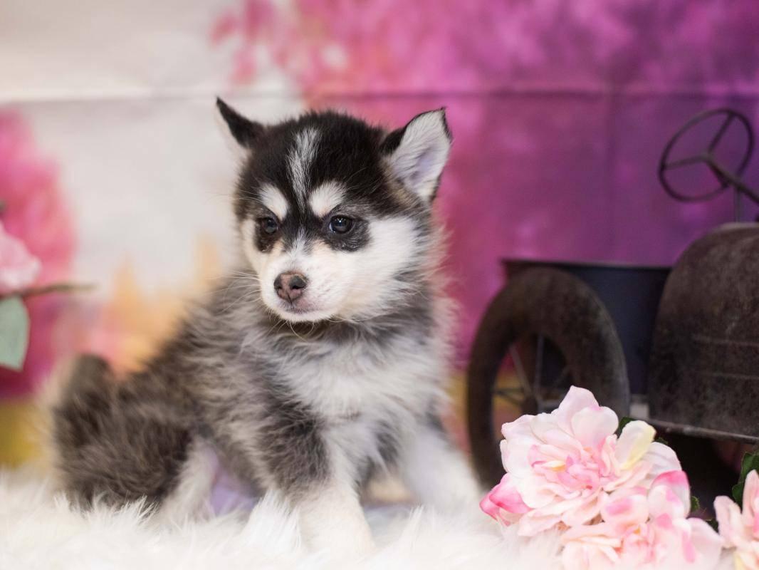Смесь хаски и шпица: стандарт породы, внешний вид собаки с фото, особенности ухода за помски