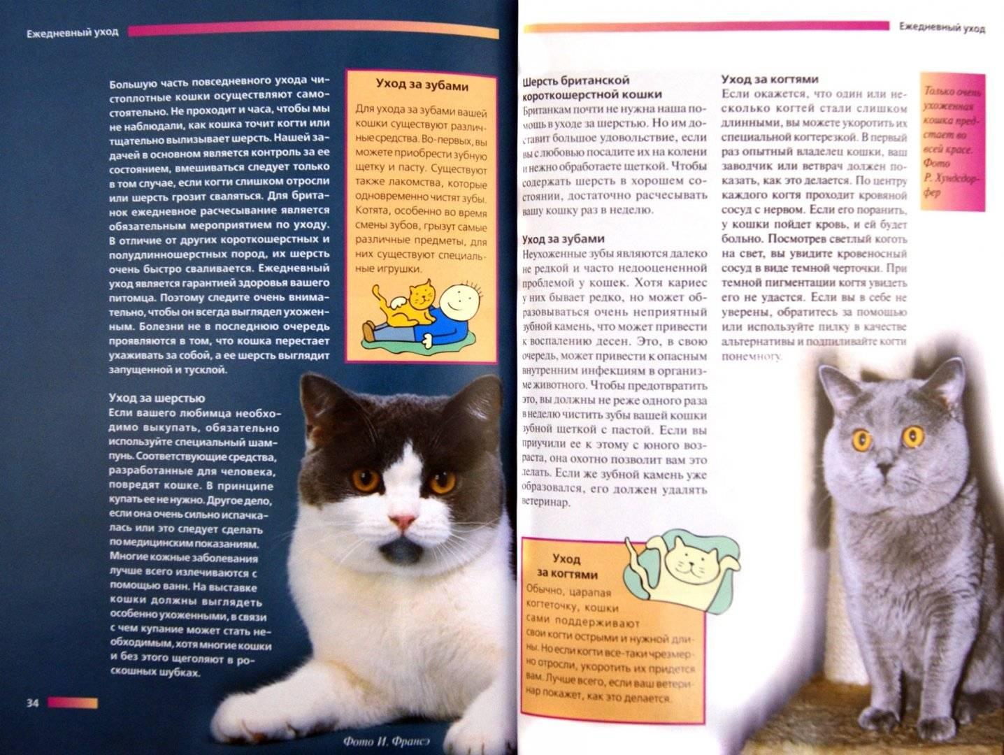 Британская кошка уход и содержание