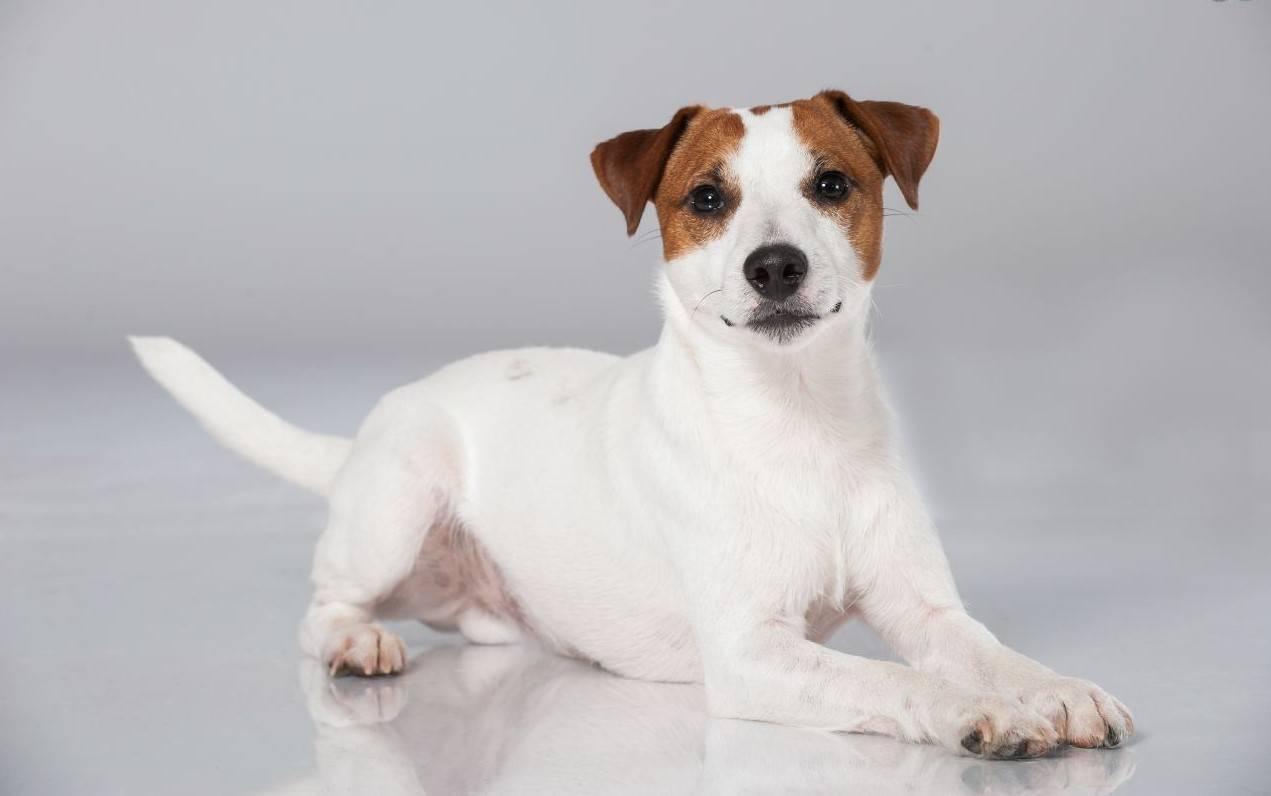 Джек рассел терьер собака. описание, особенности, виды, цена и уход за породой | живность.ру
