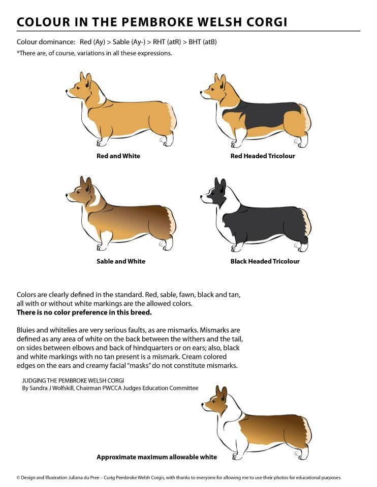 Вельш-корги-пемброк и кардиган: отличия внешнего вида, размеров, характера, воспитания