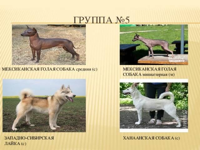 История возникновения ханаанской собаки, уход за ней, интересные факты