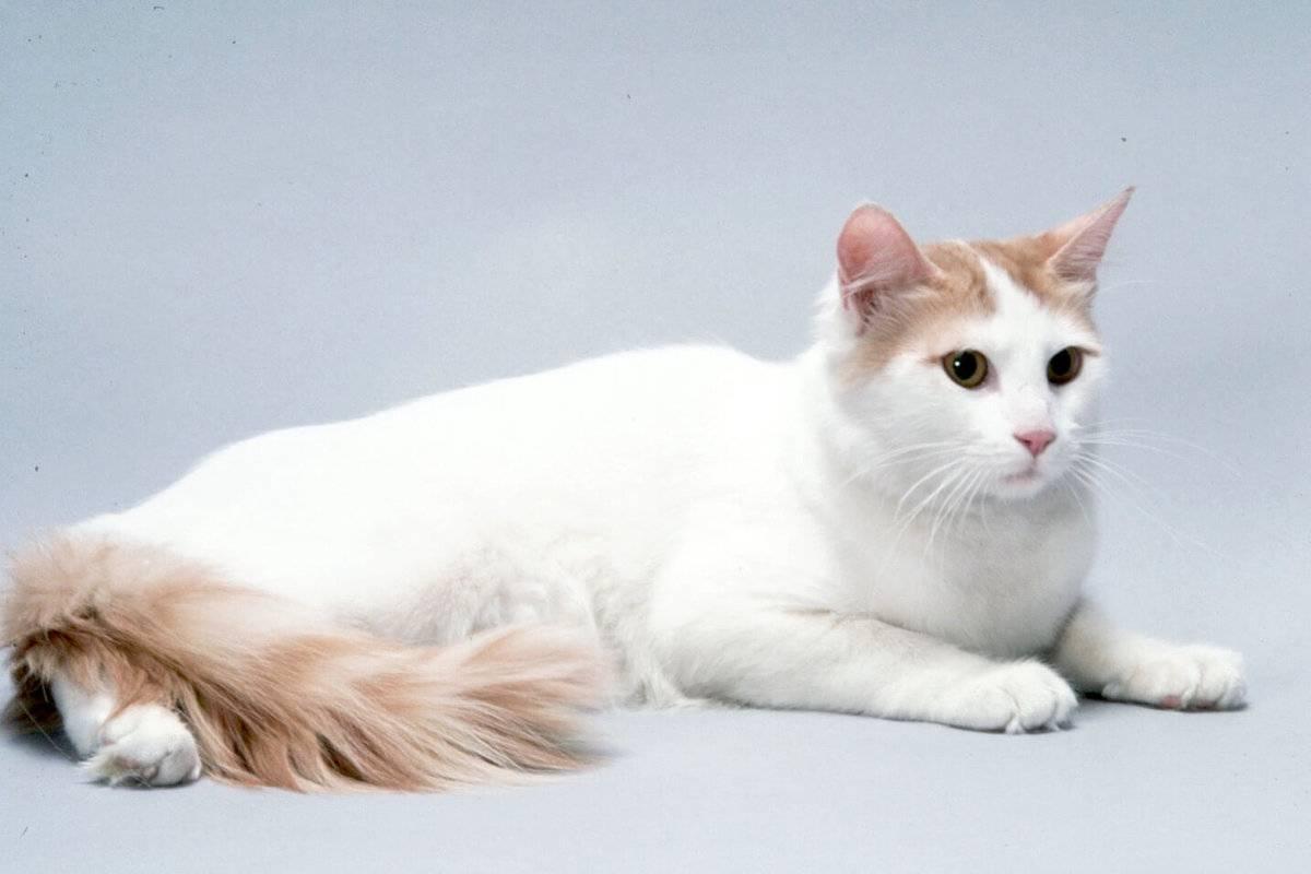 Турецкий ван: описание породы кошек с фото, стоимость
