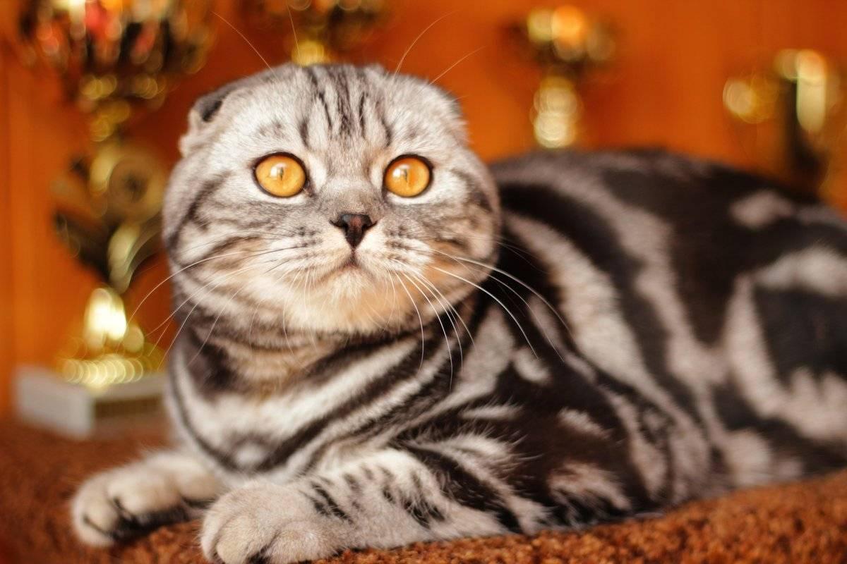 Шотландская порода кошек: питание и уход за котёнком скоттишфолд, описание породы и фото вислоухого кота