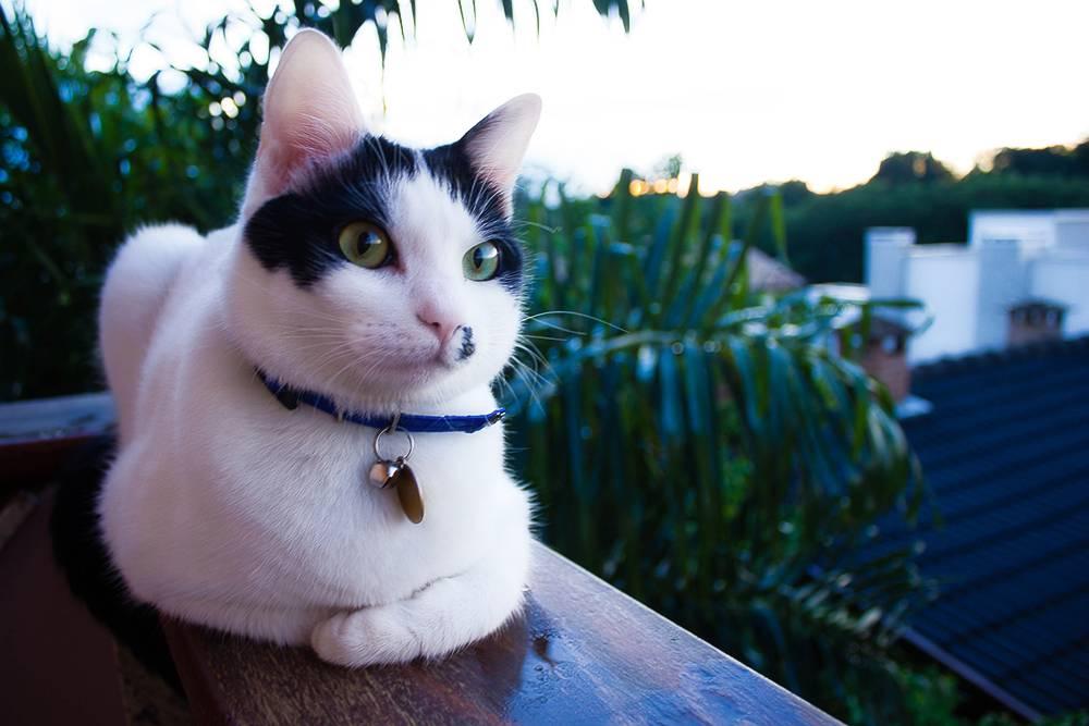 Бразильская короткошерстная кошка - описание породы