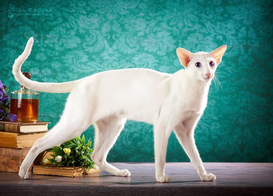 Сококе: все о кошке, фото, описание породы, характер, цена