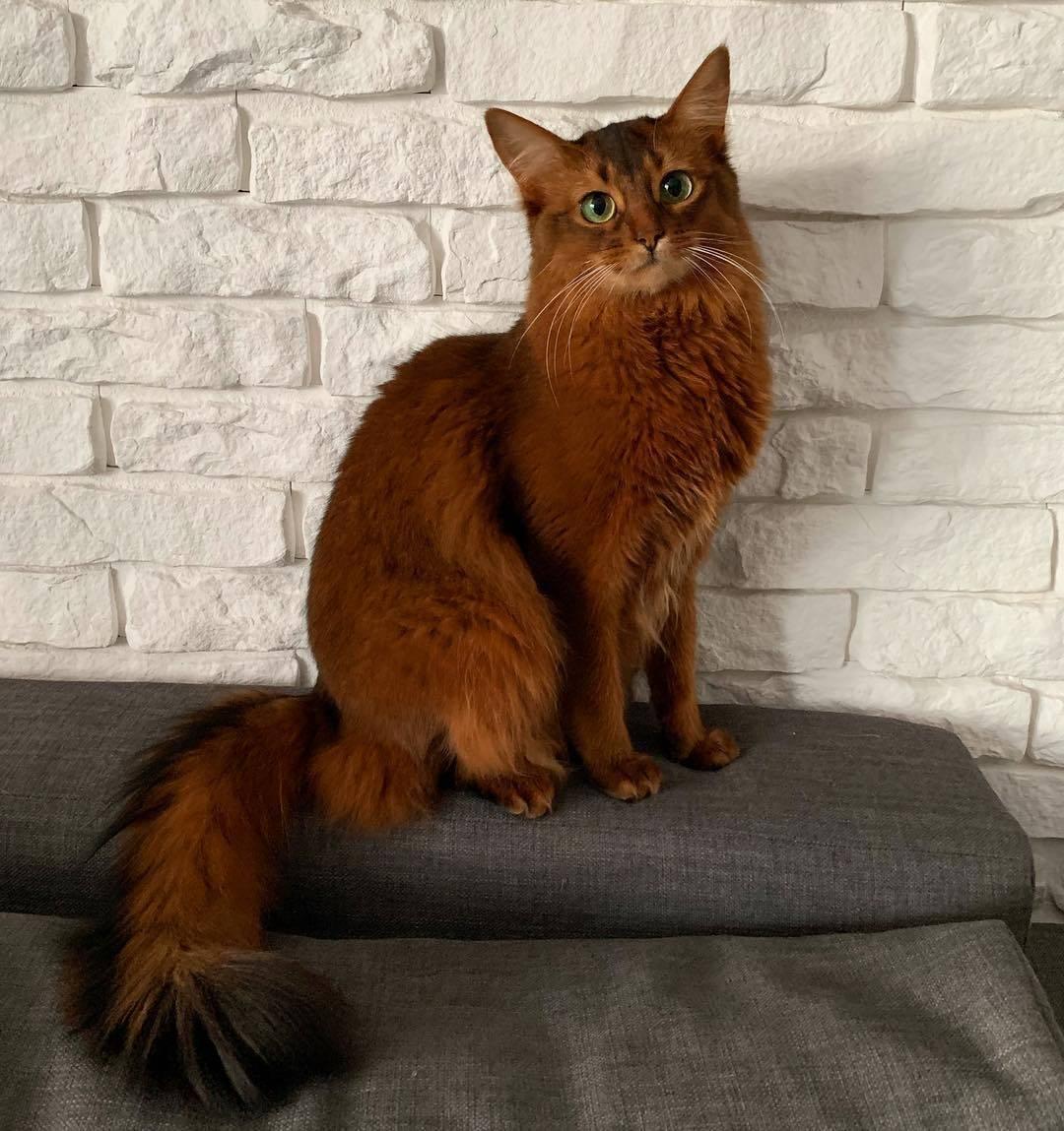 Сомалийская кошка — лисёнок, умеющий говорить: «мяу!»