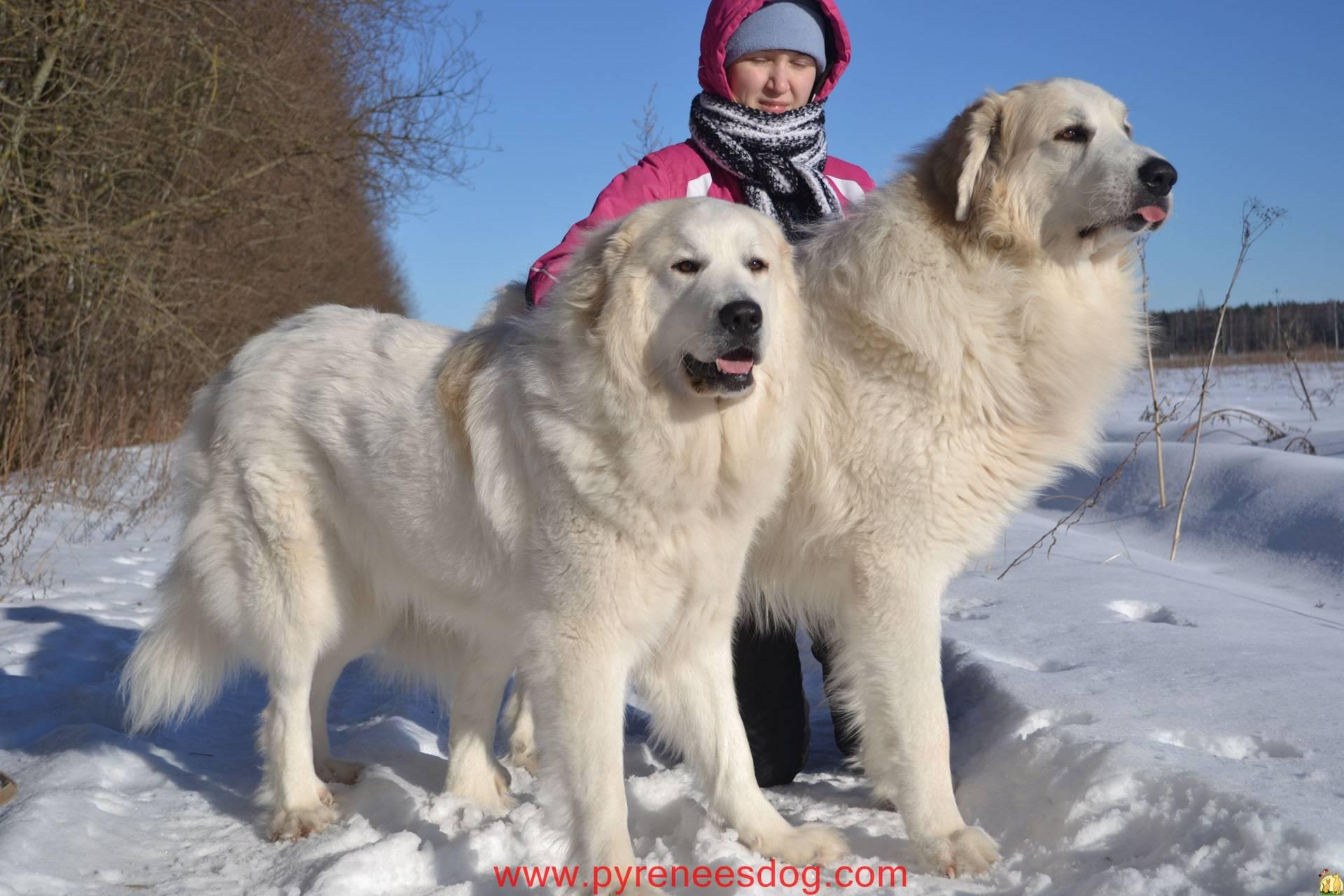 Разновидности алабаев. основные особенности туркменской, сибирской, тибетской и других азиатских овчарок
