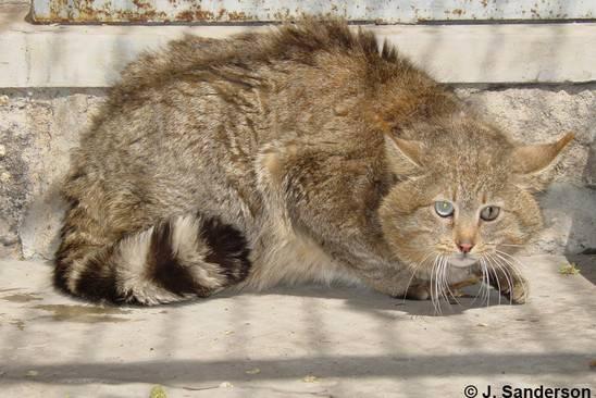 Эгейская кошка (16 фото): описание породы. как выглядят трехцветные кошка и кот? советы по уходу за питомцем