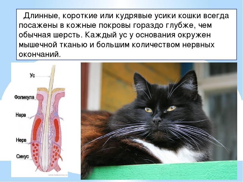 Что будет, если коту обрезать усы – почему нельзя обрезать