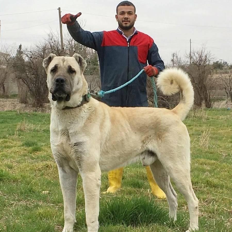 Турецкий кангал: описание и характер породы, уход и содержание в домашних условиях