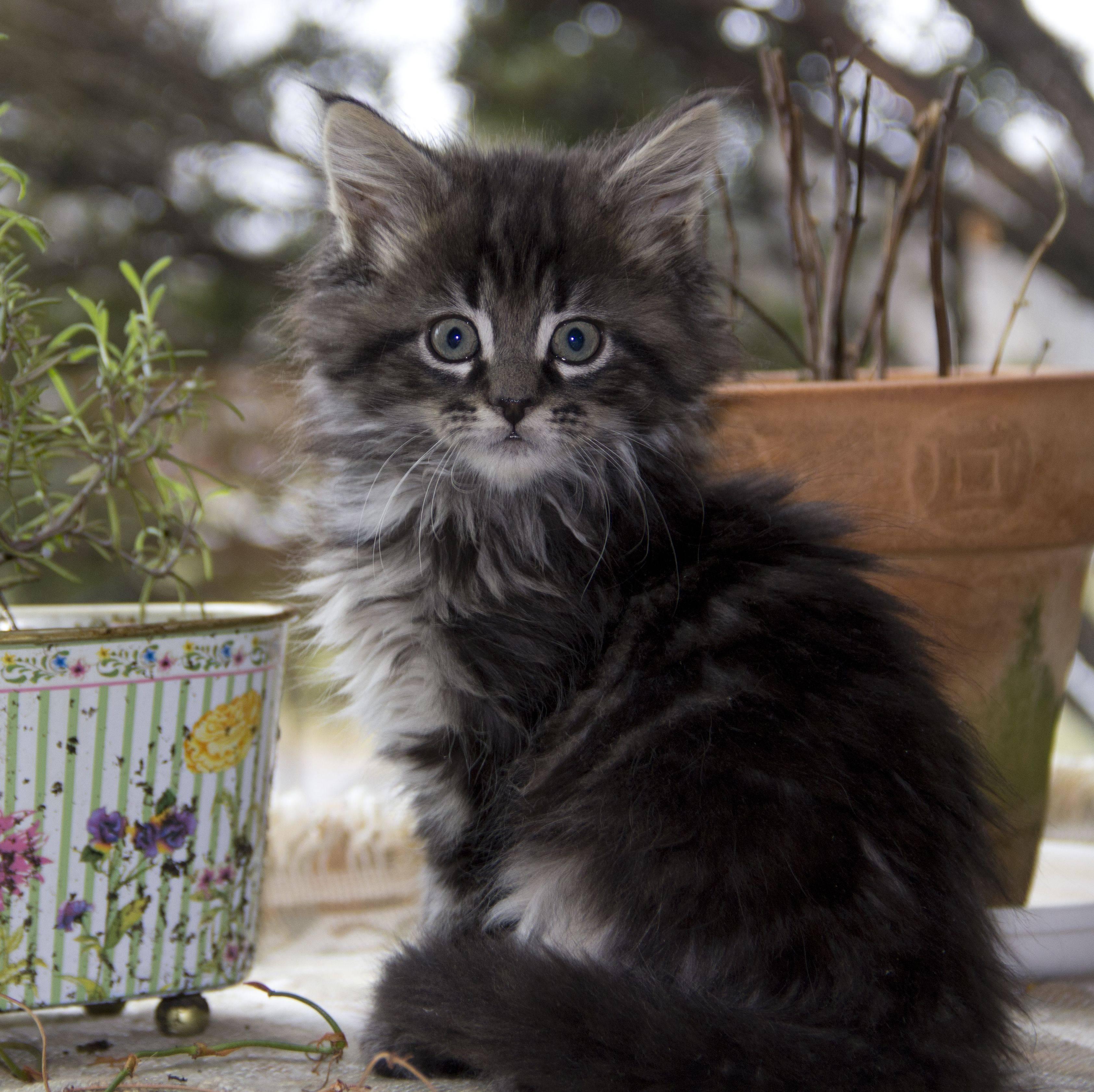 Как назвать котёнка породы мейн-кун? список популярных имен и кличек