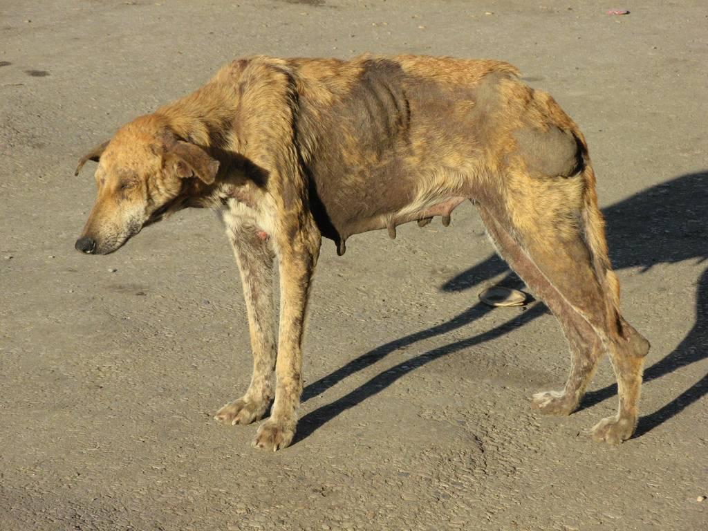 Бешенство у собак: симптомы и признаки болезни