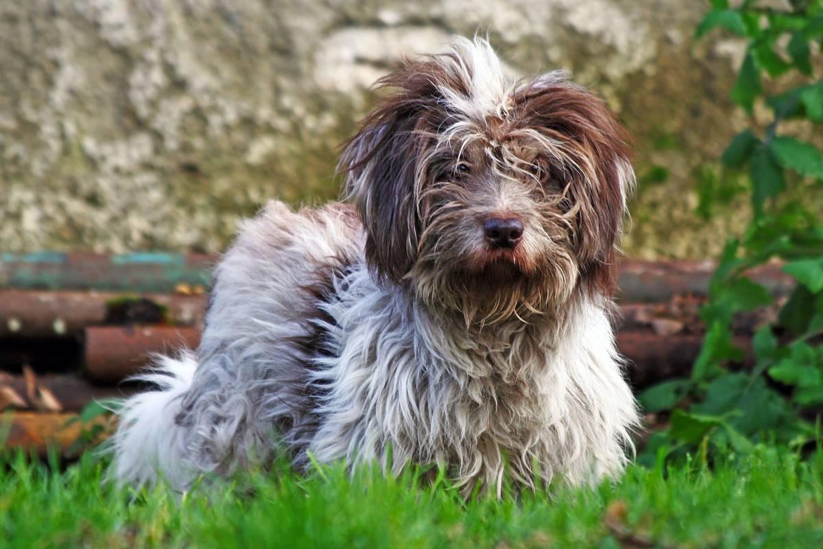 Тибетский терьер: фото и описание породы собак, характер, история тибетского терьера