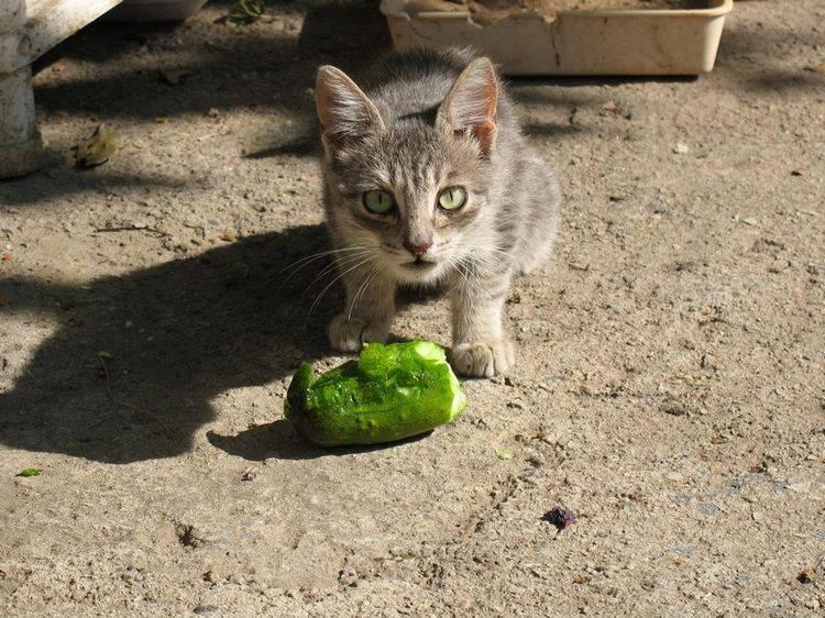 2 основных причины, почему коты боятся огурцов