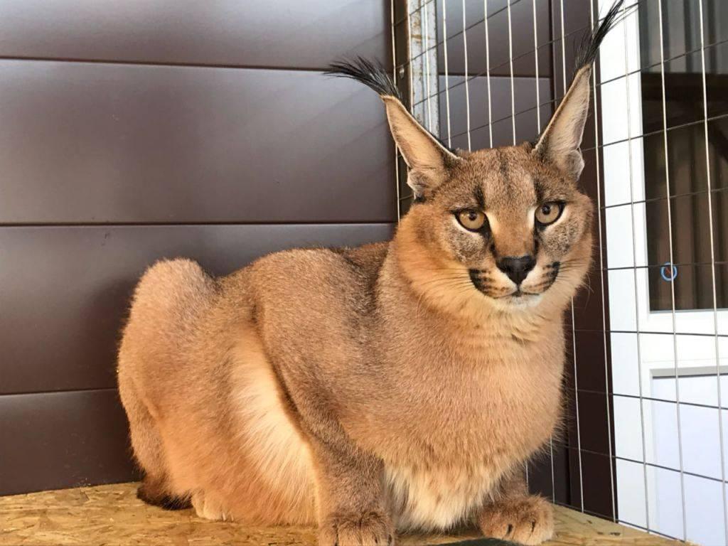 Породы кошек с кисточками на ушах (30 фото): названия больших пород домашних котов и правила их содержания