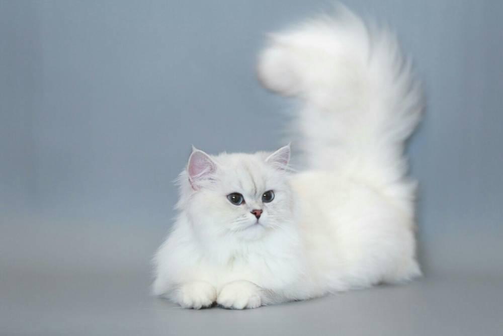 Особенности белых вислоухих шотландских кошек