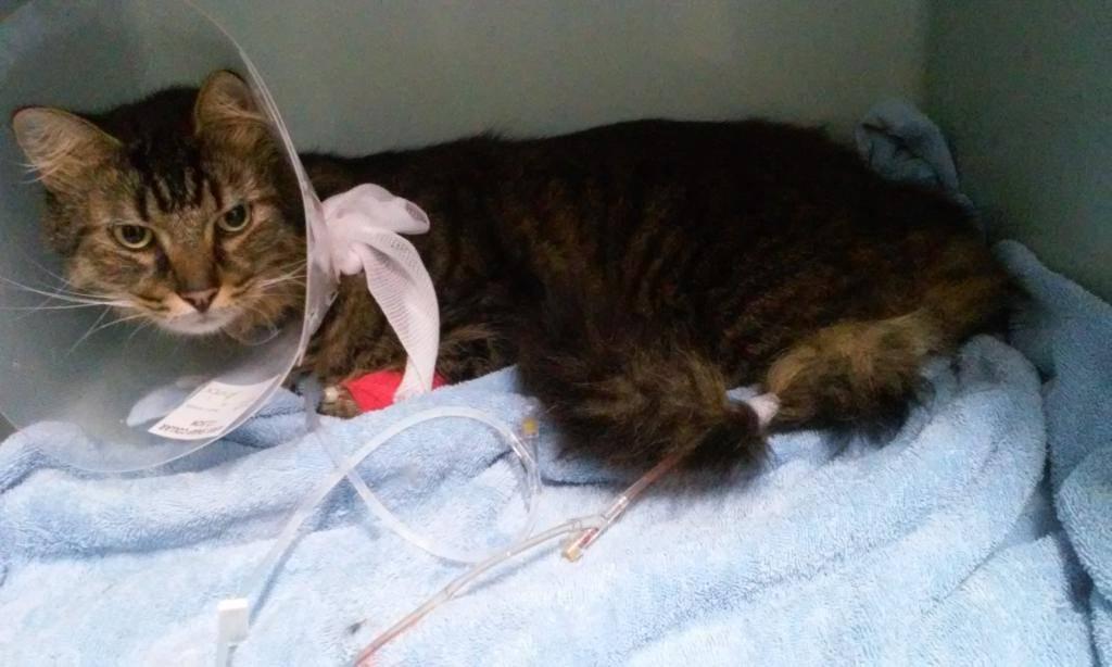 Панлейкопения у кошек или кошачья чумка — симптомы и лечение