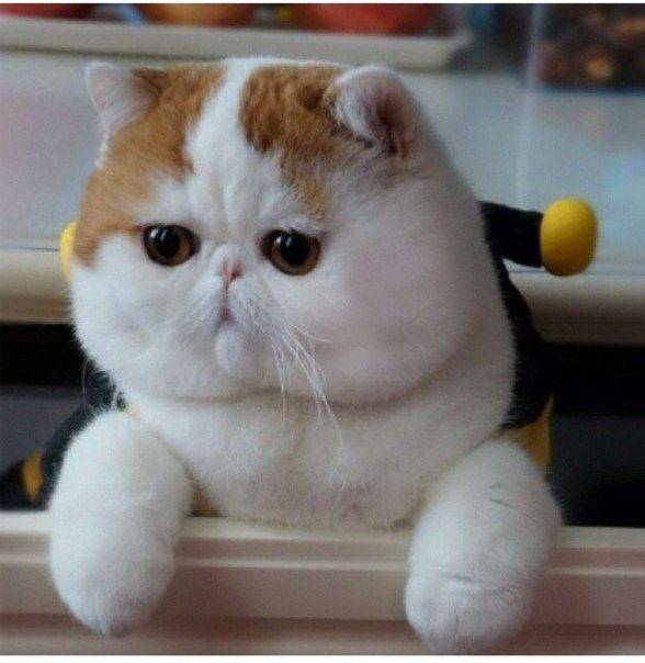 Породы кошек с приплюснутой мордой и большими глазами