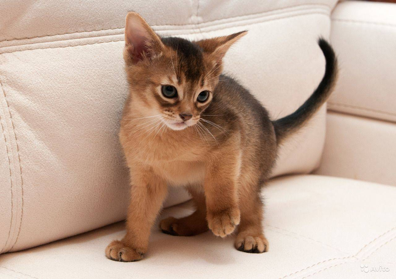Абиссинская порода кошек (абиссинец)