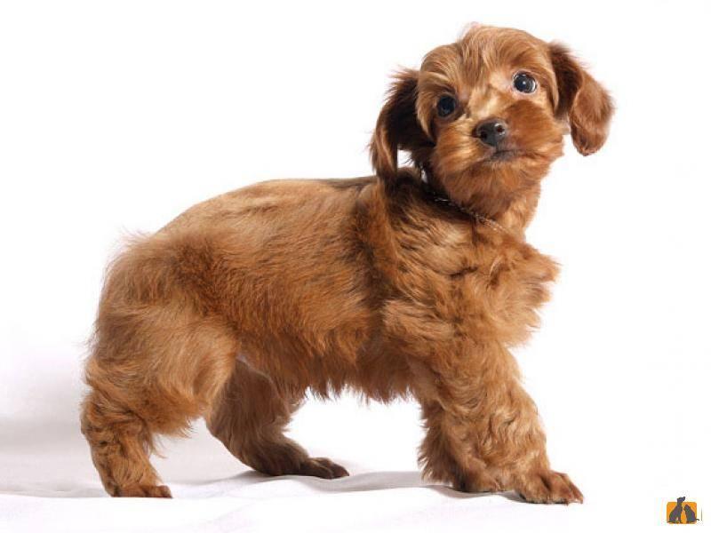 Всё о породе собаки петербургская орхидея - содержание, уход и прочие особенности + фото и отзывы