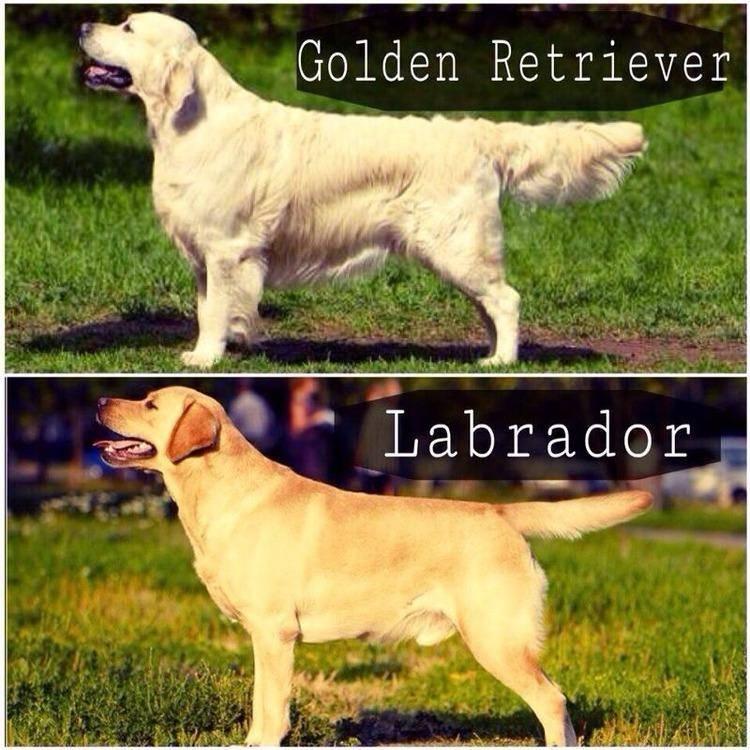 Ретривер и лабрадор разница пород: внешние отличия, сравнение характеров, фото собак