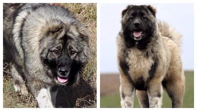 Характеристика собак московская сторожевая, метисы и сравнение с похожими породами