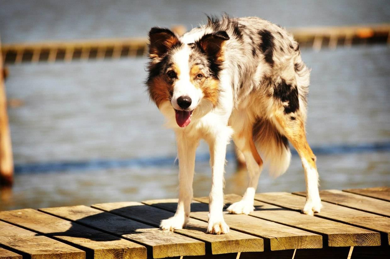 Бордер-колли - самая умная собака