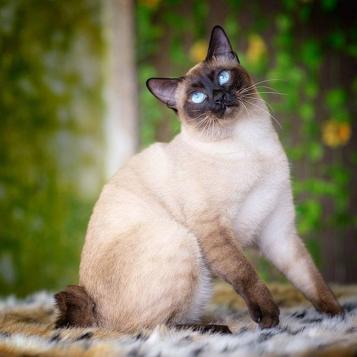 Тайская кошка — история породы, характер, 130 фото, видео описание породы и особенности выбора котят