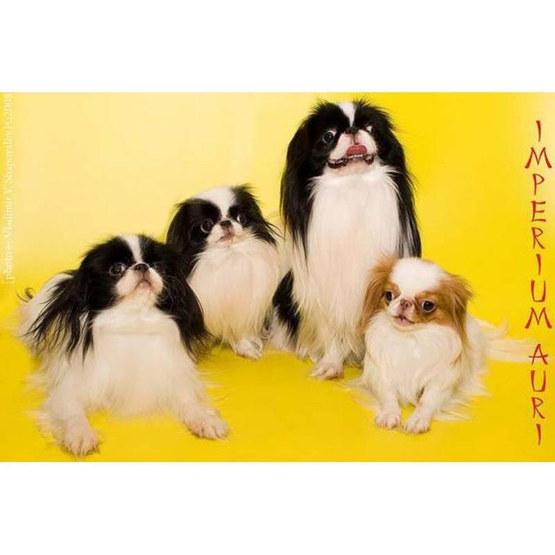 Японский хин собака. описание, особенности, уход и цена японского хина   sobakagav.ru