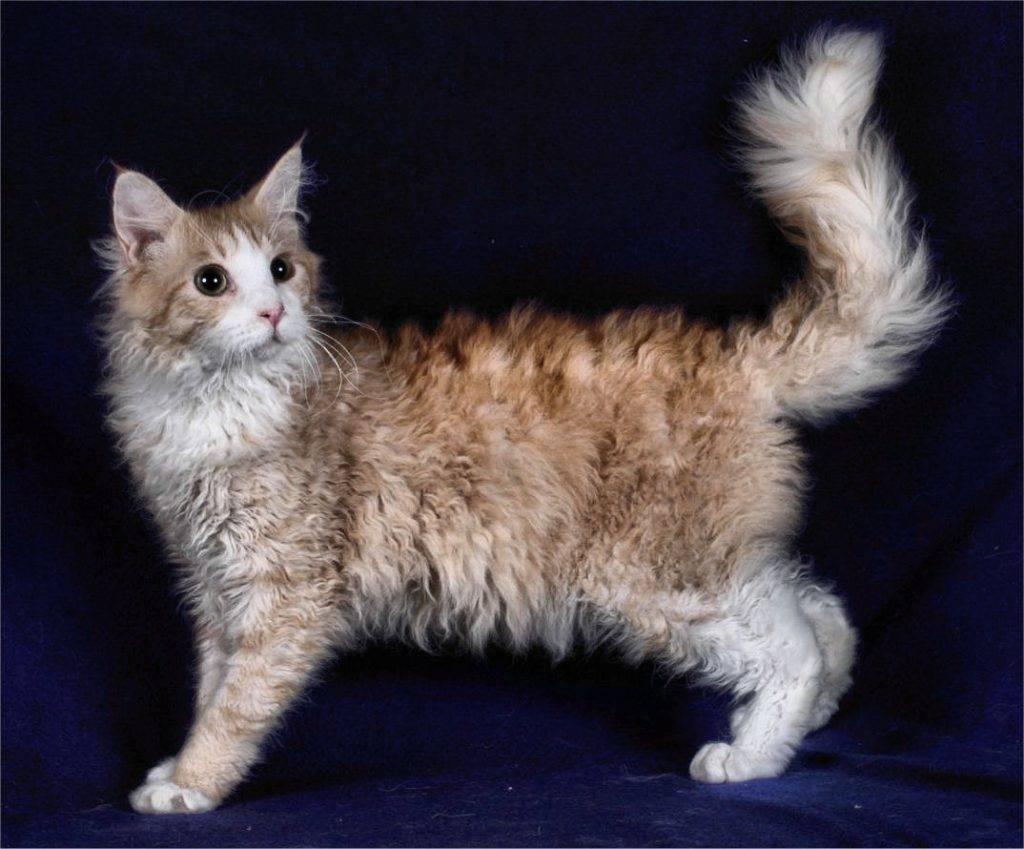Лаперм кошка: характери, история породы, уход, стоимость в рублях