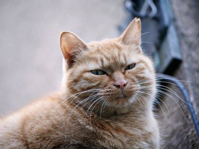 8 красивейших пород серых и дымчатых котов и кошек