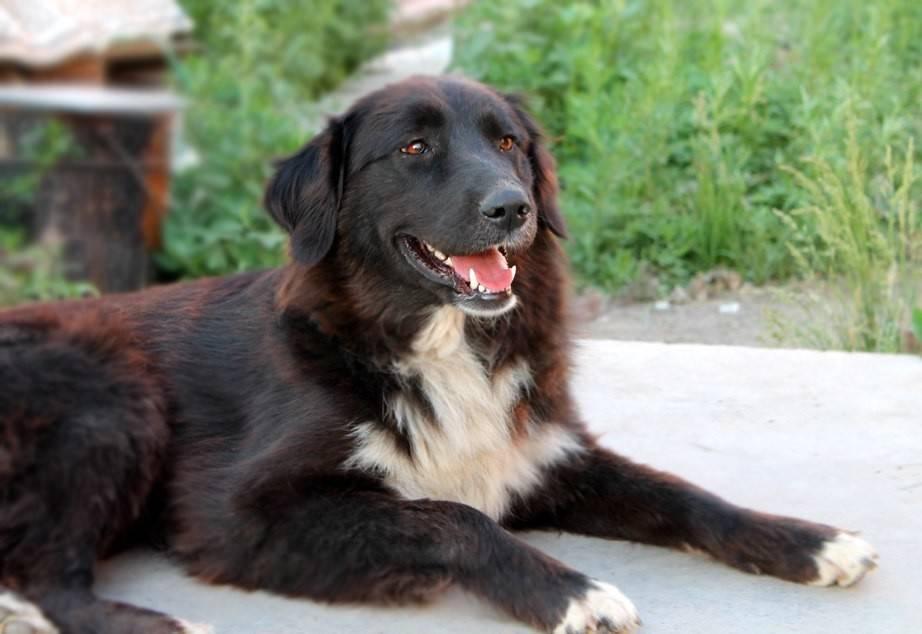 Тувинская овчарка (тувинская сторожевая собака)