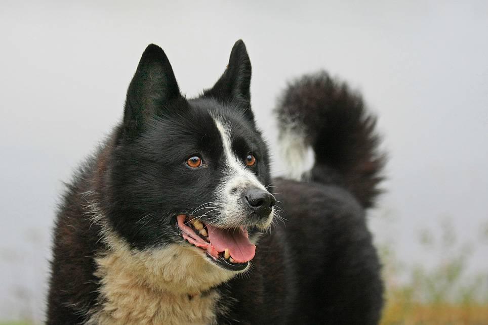 Карельская медвежья собака — это розыскная порода собак, используется для охоты на крупных зверей. фото, особенности породы, характер