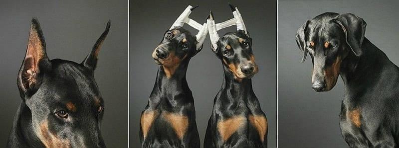 Купирование ушей у собак и щенков