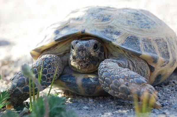 Cколько живут черепахи в домашних условиях (продолжительность жизни в годах): сухопутные, водные