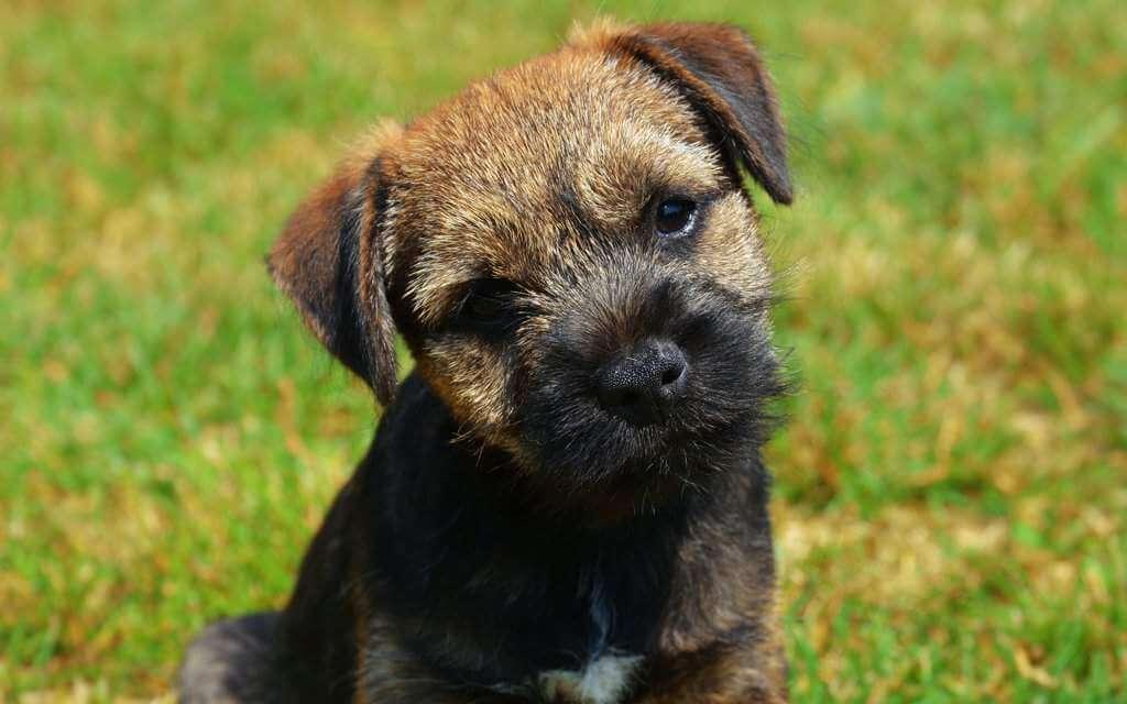 Порода собак бордер-терьер и ее характеристики с фото