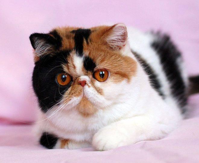 Породы кошек с большими ушами (37 фото): как называется порода кота с вытянутой мордой? описание кошек с большим носом, длинными лапами и большими ушами