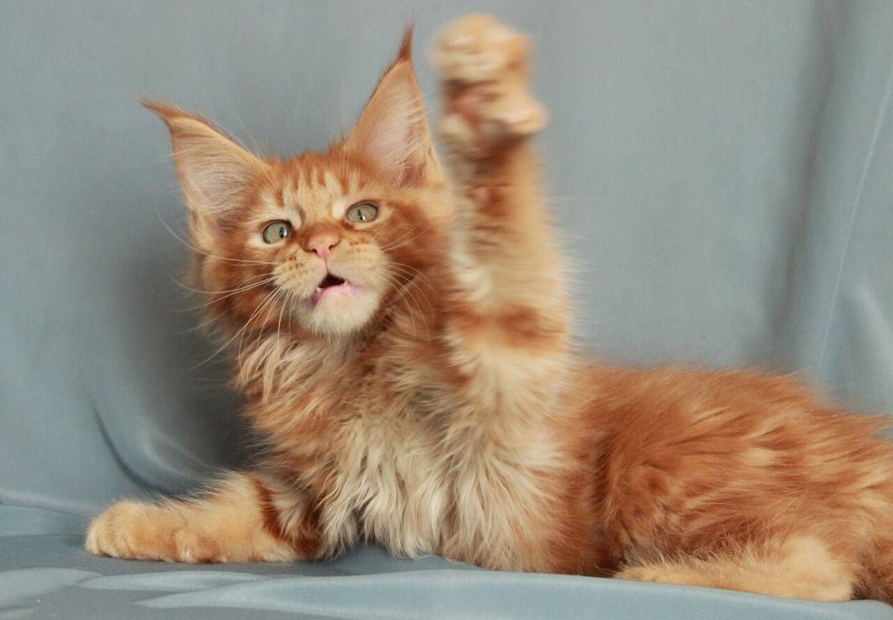 Чем хороши кошки породы мейн-кун, стандарты и советы