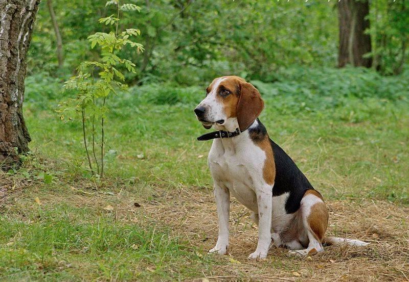 Характеристика собак породы эстонская гончая с отзывами и фото