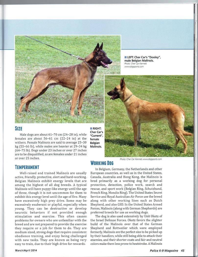 Порода собак бельгийская овчарка: фото, видео, описание породы и ее видов