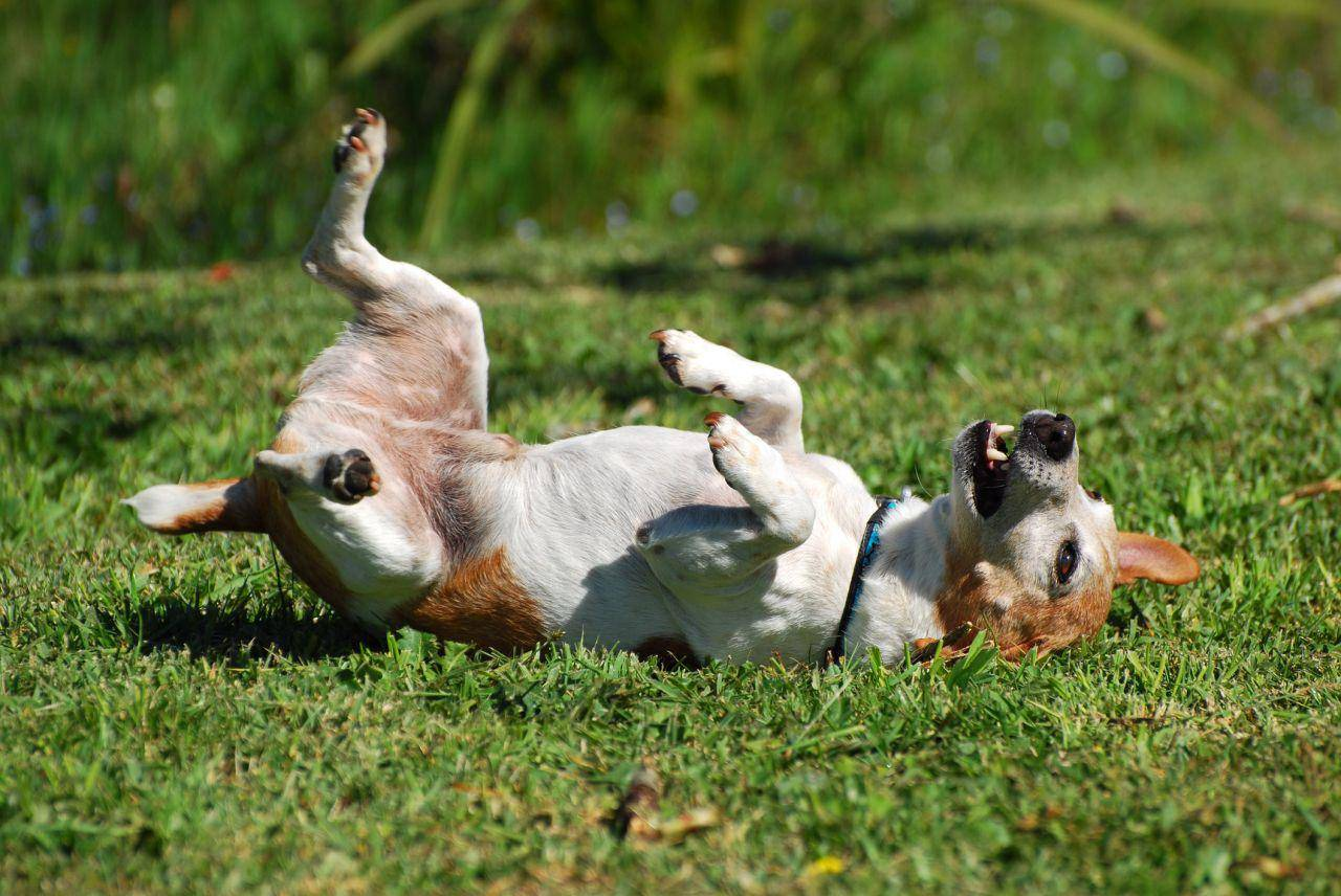 Почему собаки валяются в тухлятине, падали и экскрементах